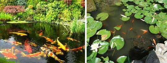 Как разводить и чем кормить карасей в домашнем пруду