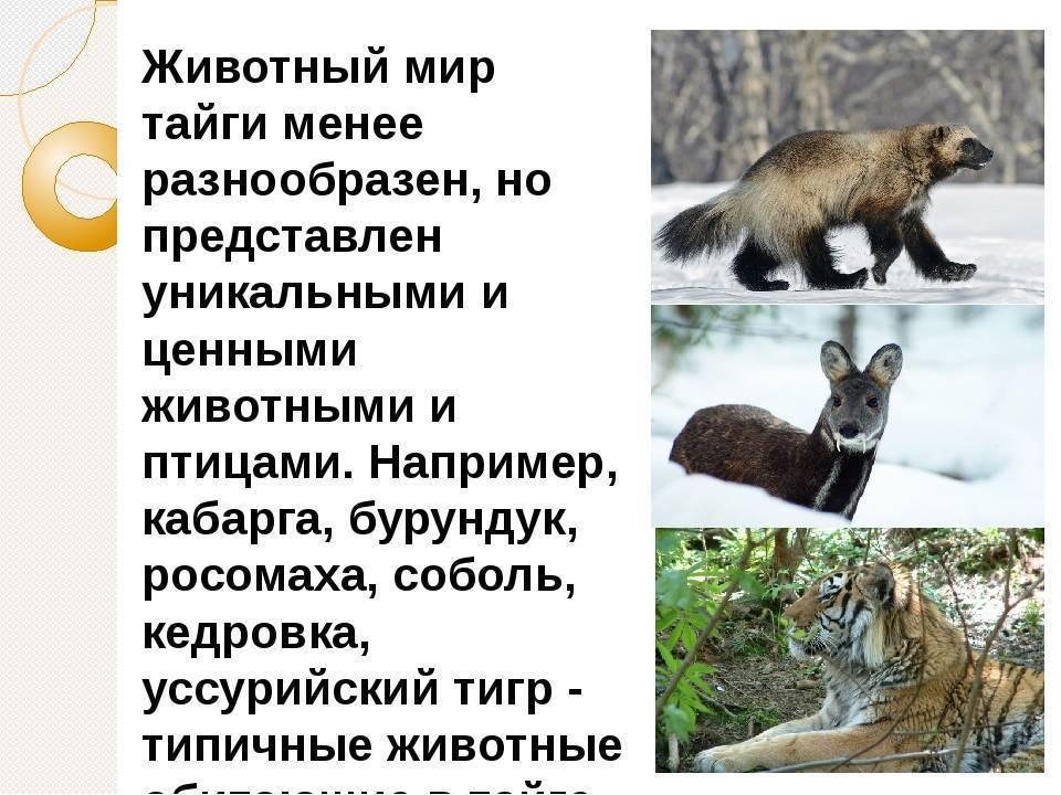 Тайга: географическое положение, особенности климата, растительный и животный мир :: syl.ru