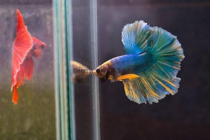 Рыбка петушок. содержание, размножение, виды, совместимость, половые различия