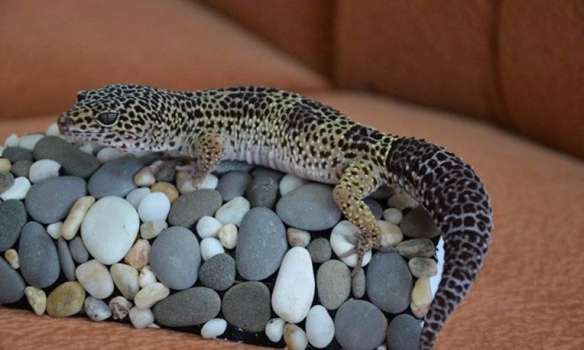 Как ухаживать за прыткой ящерицы. особенности размножения проворных ящерок