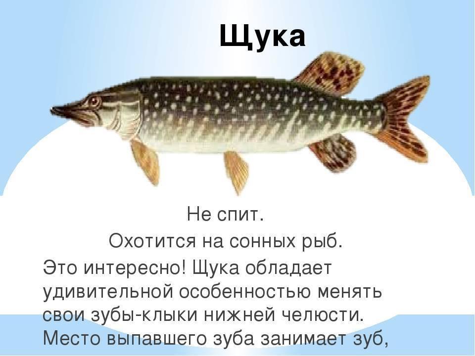 Щука рыба. образ жизни и среда обитания щуки | животный мир
