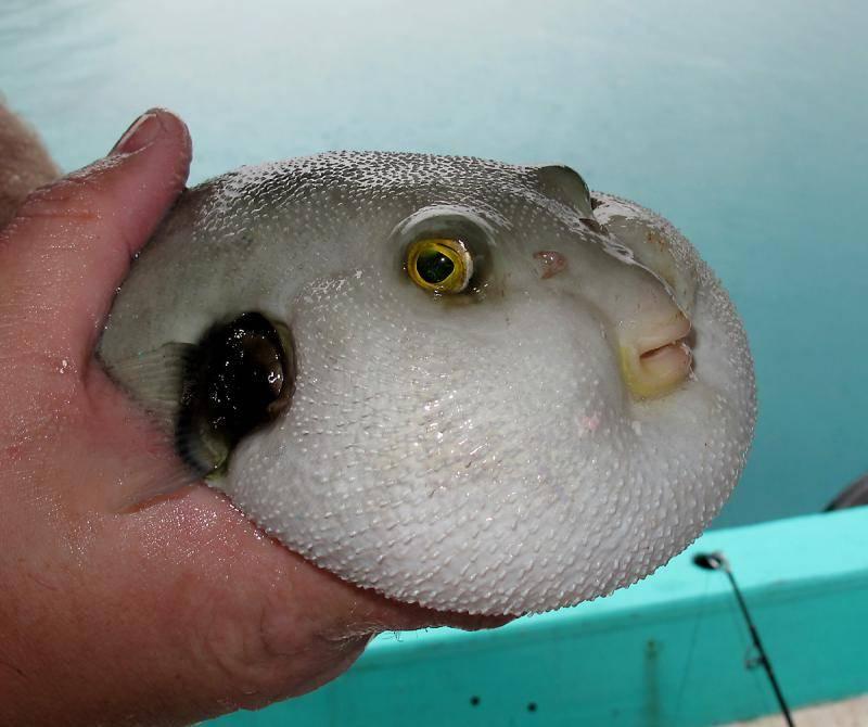 Рыба, которая надувается как шар при опасности (рыбка-колючка): описание, виды, содержание в домашних условиях - kotiko.ru рыба, которая надувается как шар при опасности (рыбка-колючка): описание, виды, содержание в домашних условиях - kotiko.ru