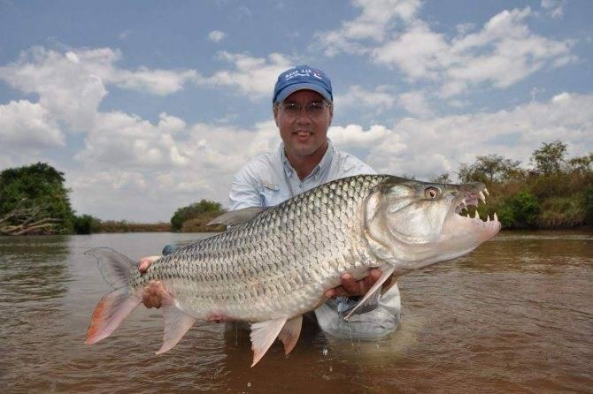 Голиаф или большая тигровая рыба