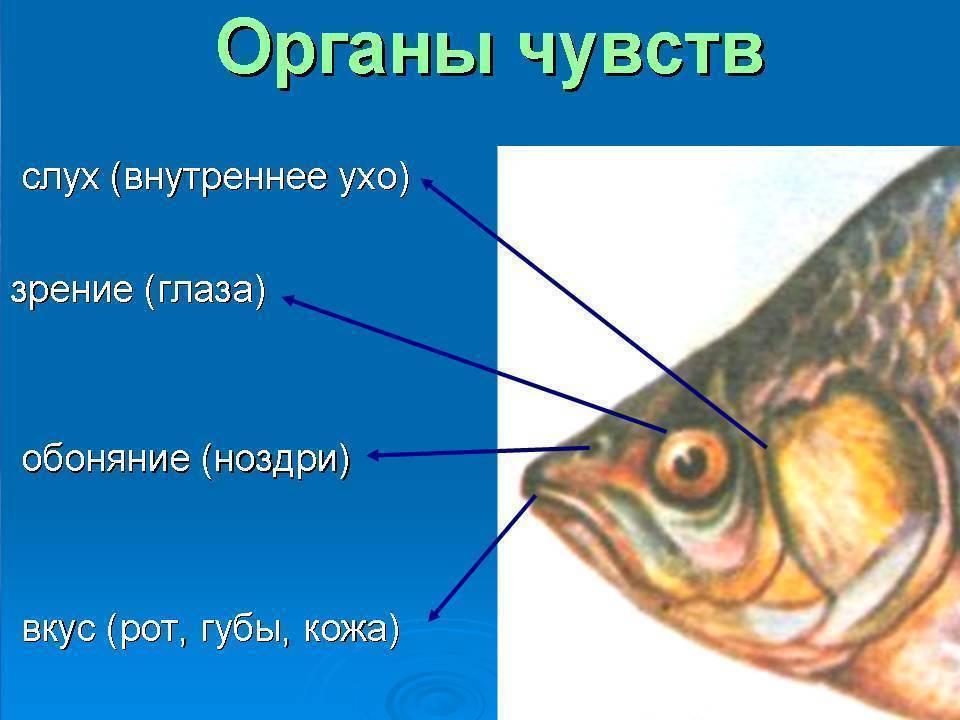 Какой слух у рыб. орган равновесия и слуха у рыб есть уши