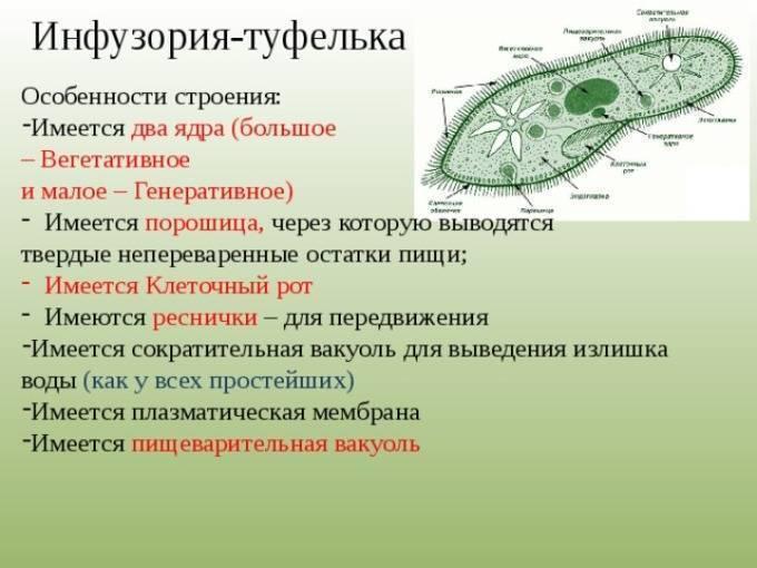 Инфузория туфелька – питание и среда обитания: выделения, особенности строения и процессов жизнедеятельности   tvercult.ru