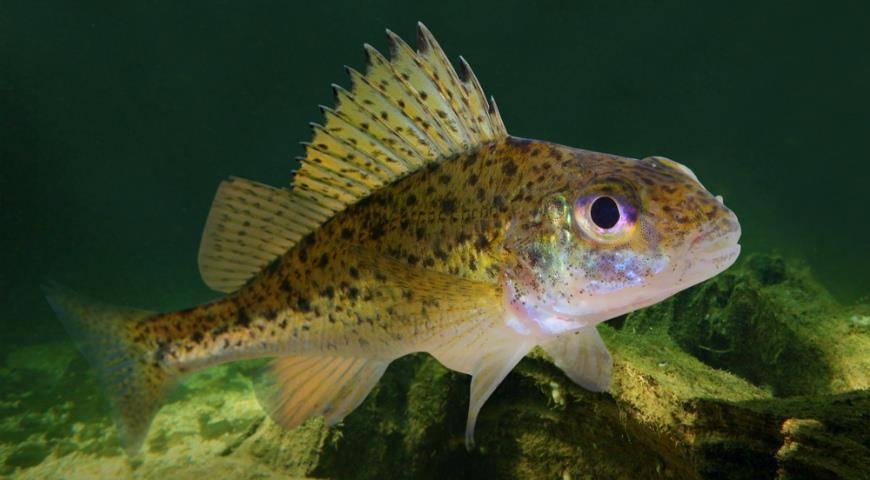 Рыба осетр: описание, места обитания и основные виды