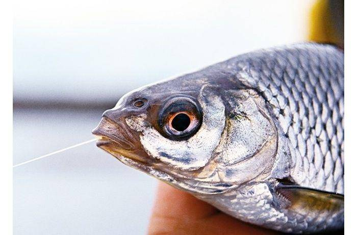 Рыбец — описание и образ жизни, ловля, рецепты приготовления