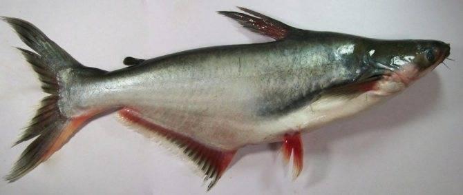 Рыба пангасиус: польза и вред | польза и вред