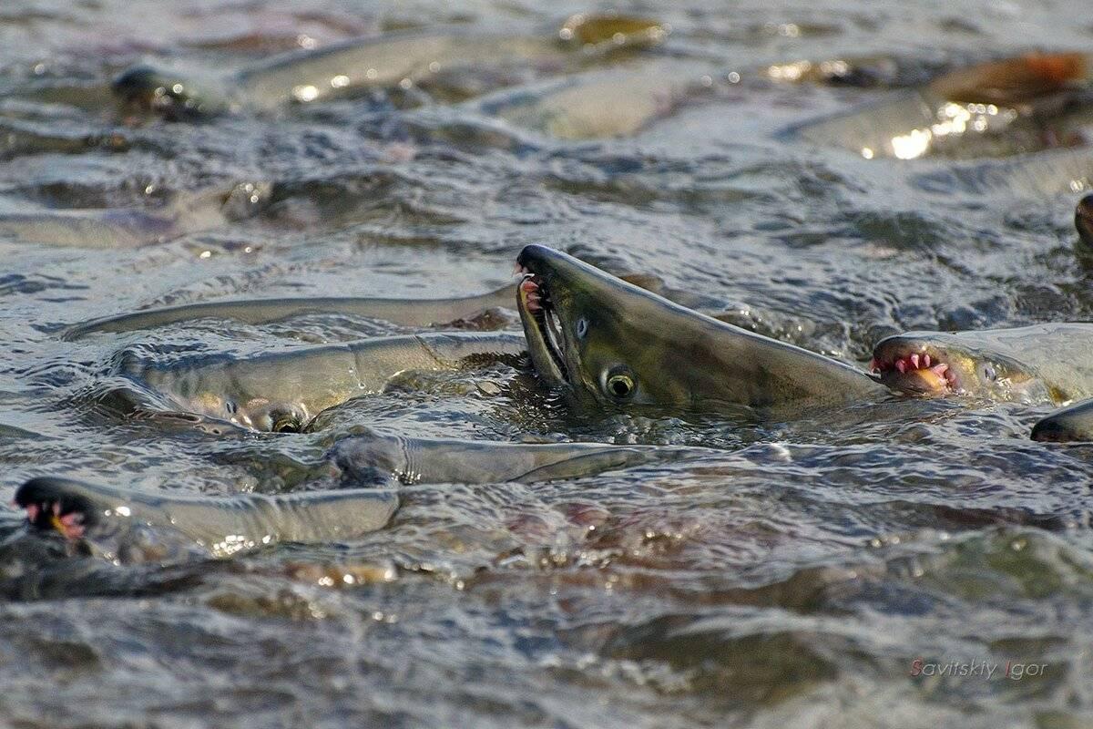 Все что нужно знать о рыбе «нельма»