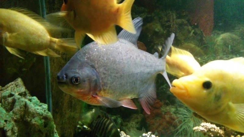 Аквариумные пираньи: содержание, фото рыбок, видео аквариумные пираньи: содержание, фото рыбок, видео