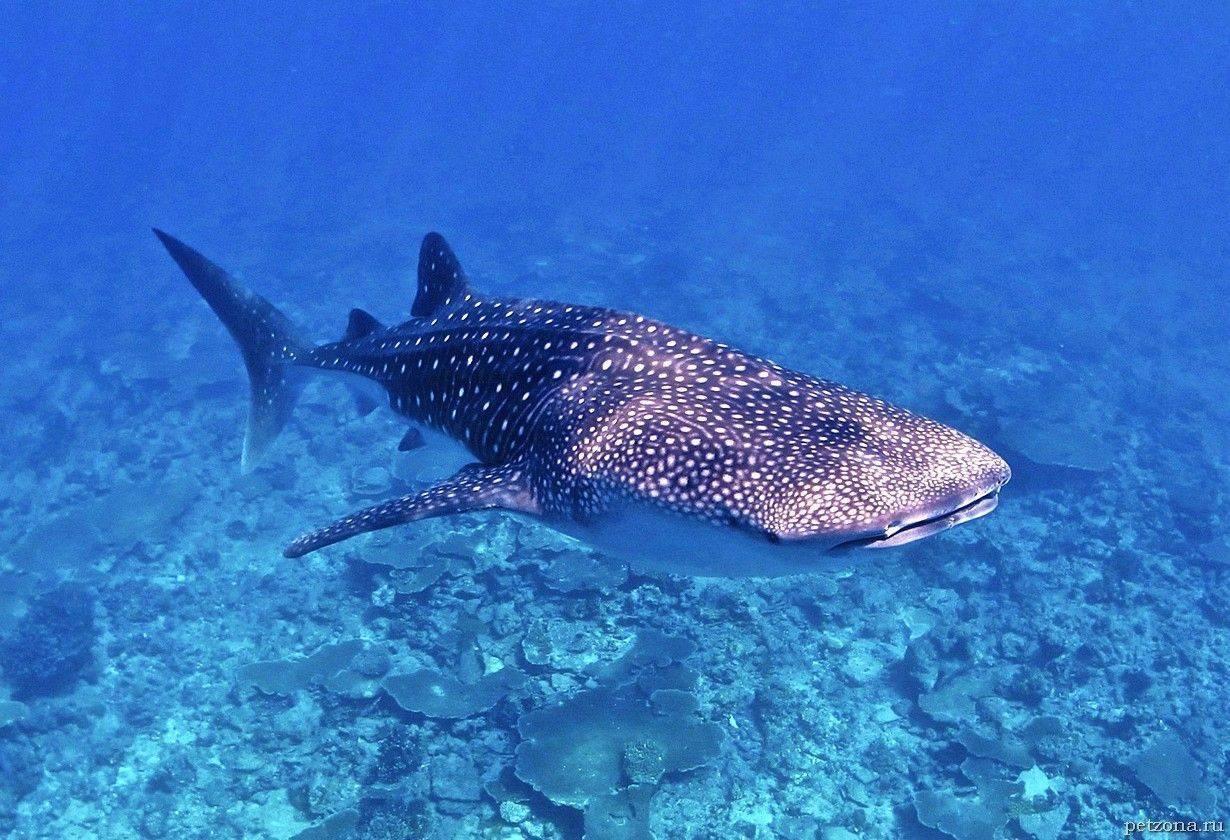 Самые крупные пресноводные рыбы мира. топ-10