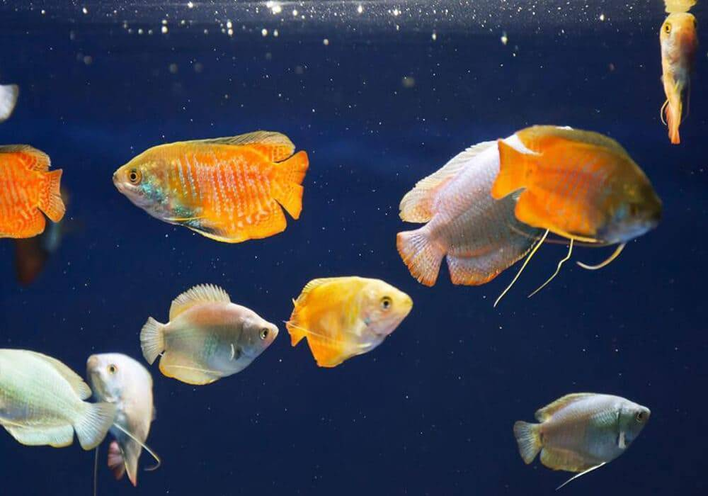 Совместимость лялиусов с другими рыбами