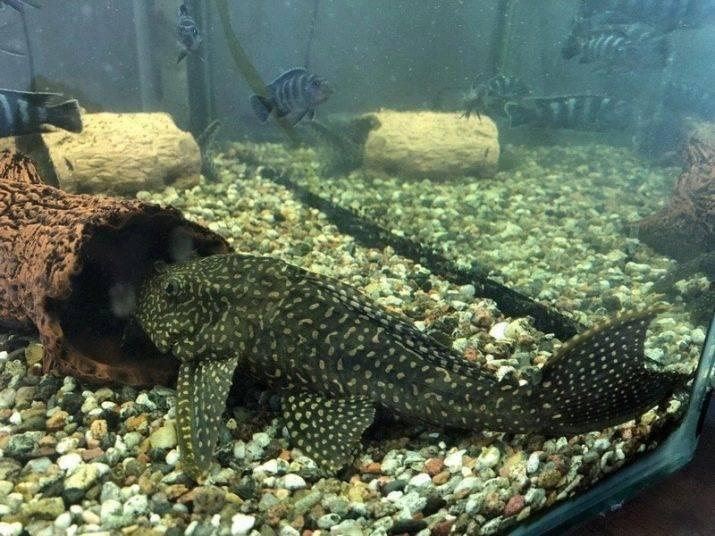 Аквариумная рыбка птеригоплихт