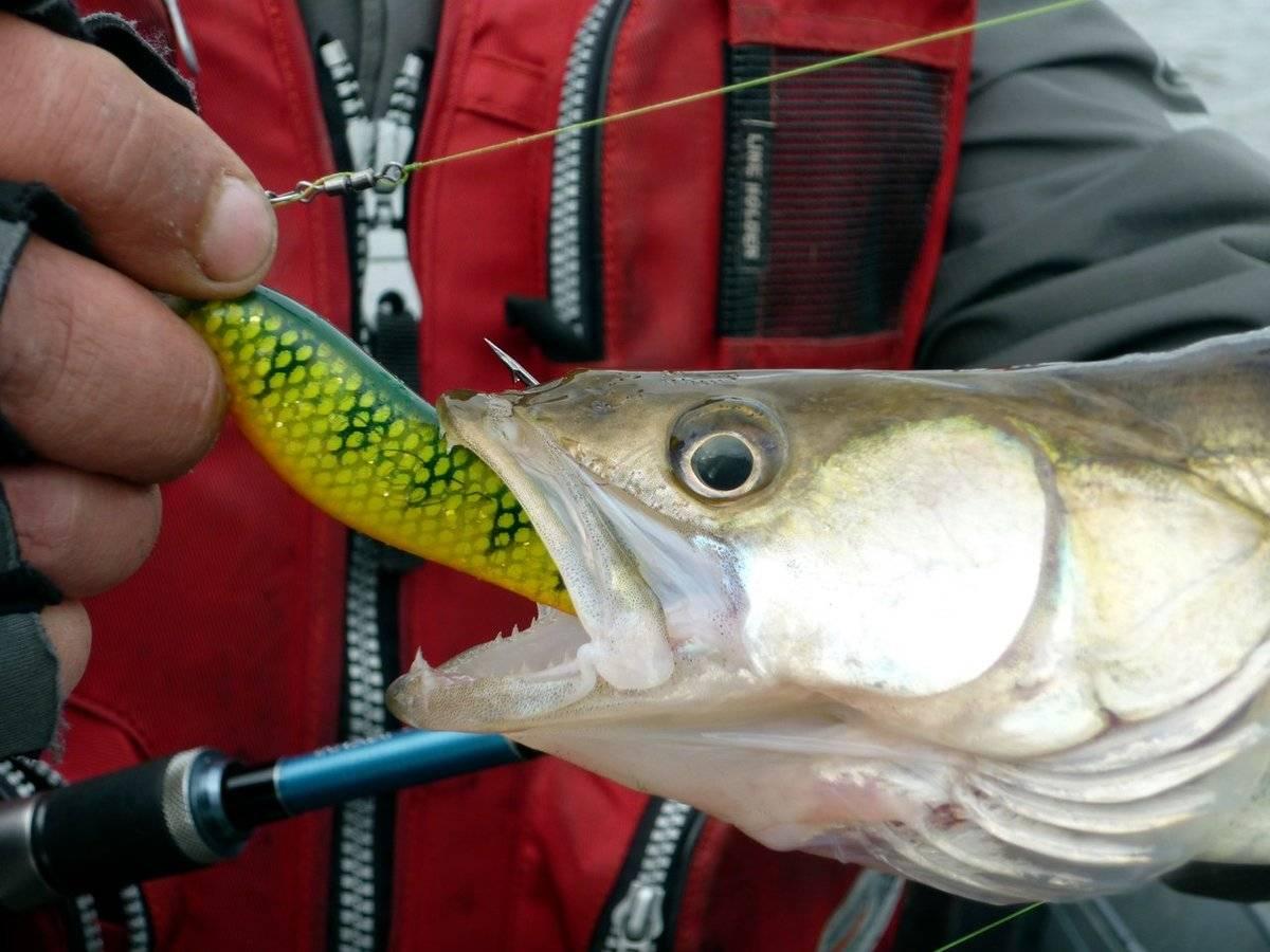Ловля судака осенью: повадки рыбы и выбор лучших приманок