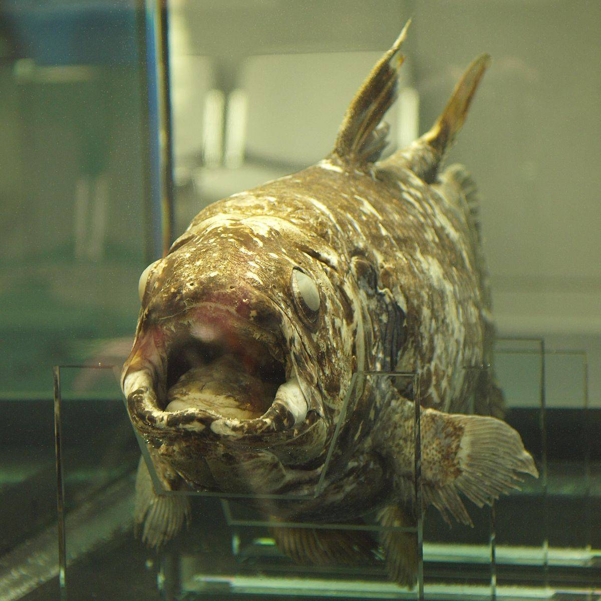Рыба европейский удильщик: описание и виды морского черта