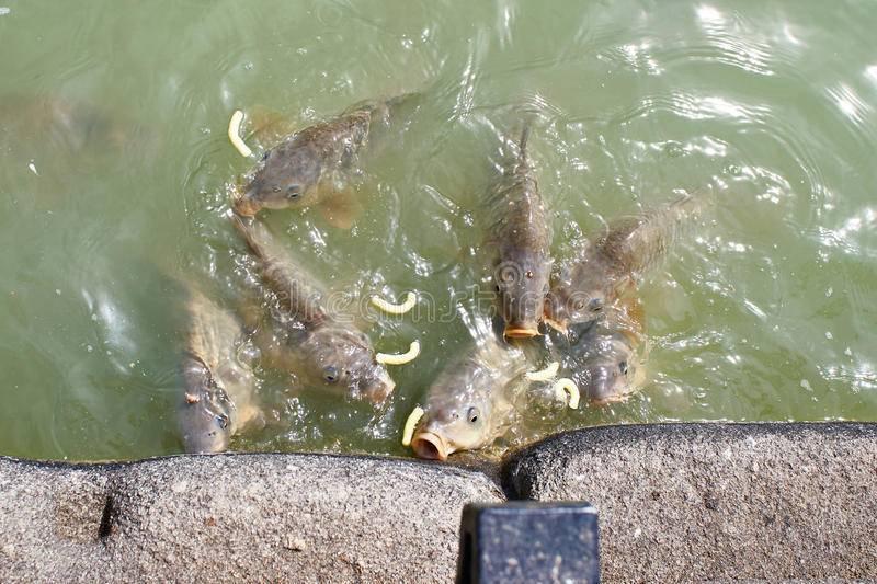 Правила разведения рыбы в пруду - пошаговый мастер-класс разведения рыб в домашних условиях (120 фото и видео)