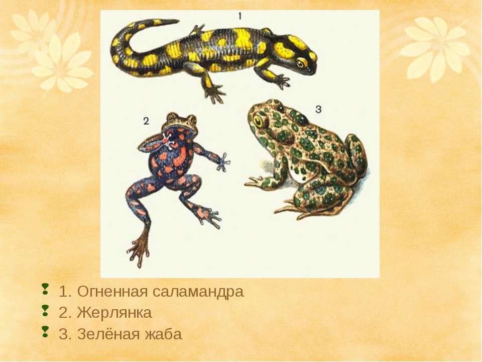 Болотная лягушка, или остромордая лягушка   мир животных и растений
