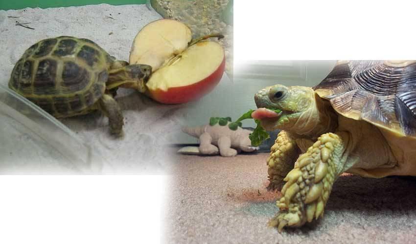 Как выбрать черепаху для дома? Какую лучше черепаху выбрать? Практические рекомендации1 min read