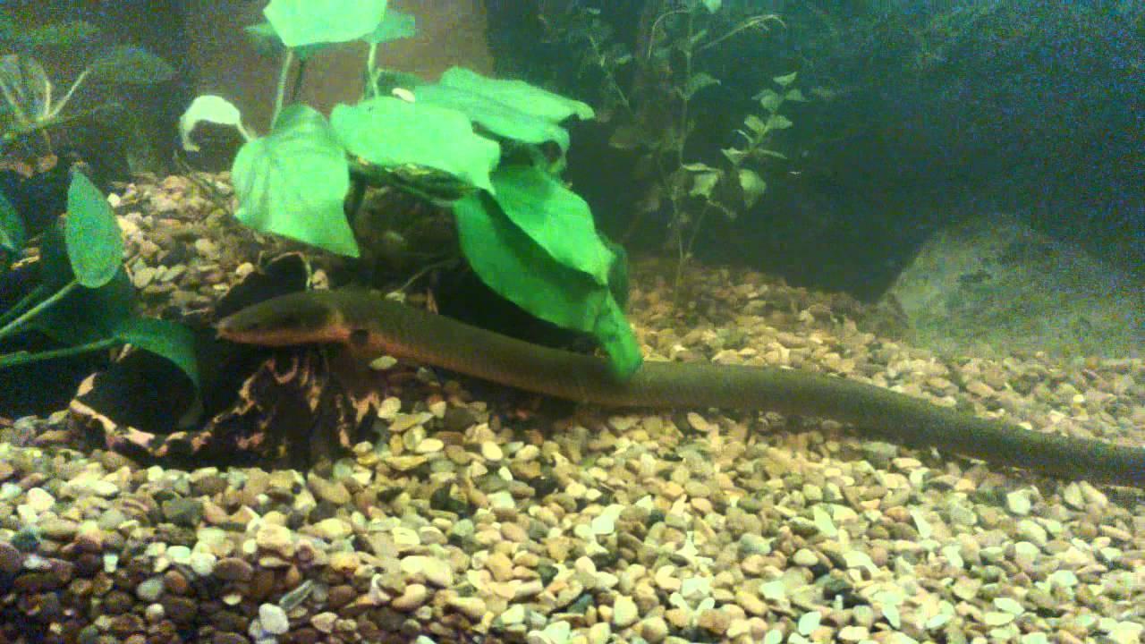 Каламоихт: правила содержания, ухода и кормления рыбы змеи