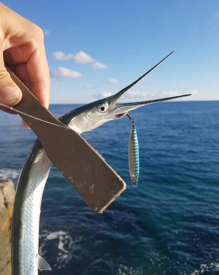 Рыба сарган: характеристика рыбы, места обитания, поведения и правила вылова (105 фото)
