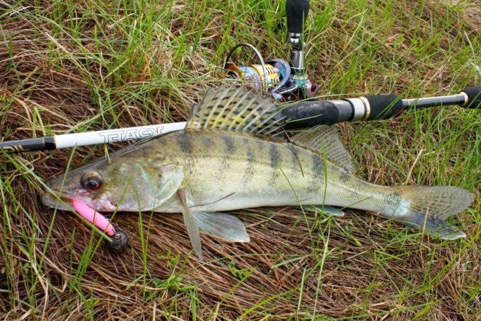 Ловля судака осенью на спиннинг: выбор места и техника ловли