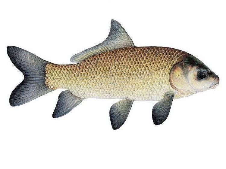 Буффало (рыба). речная рыба буффало: фото и описание. где водится рыба буффало? :: syl.ru