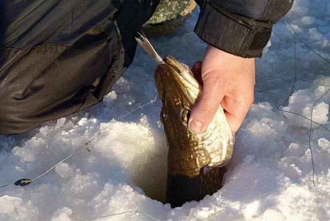 Ловля карася по первому льду – рыбалке.нет
