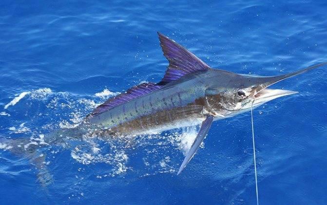 Самые быстрые в мире рыбы