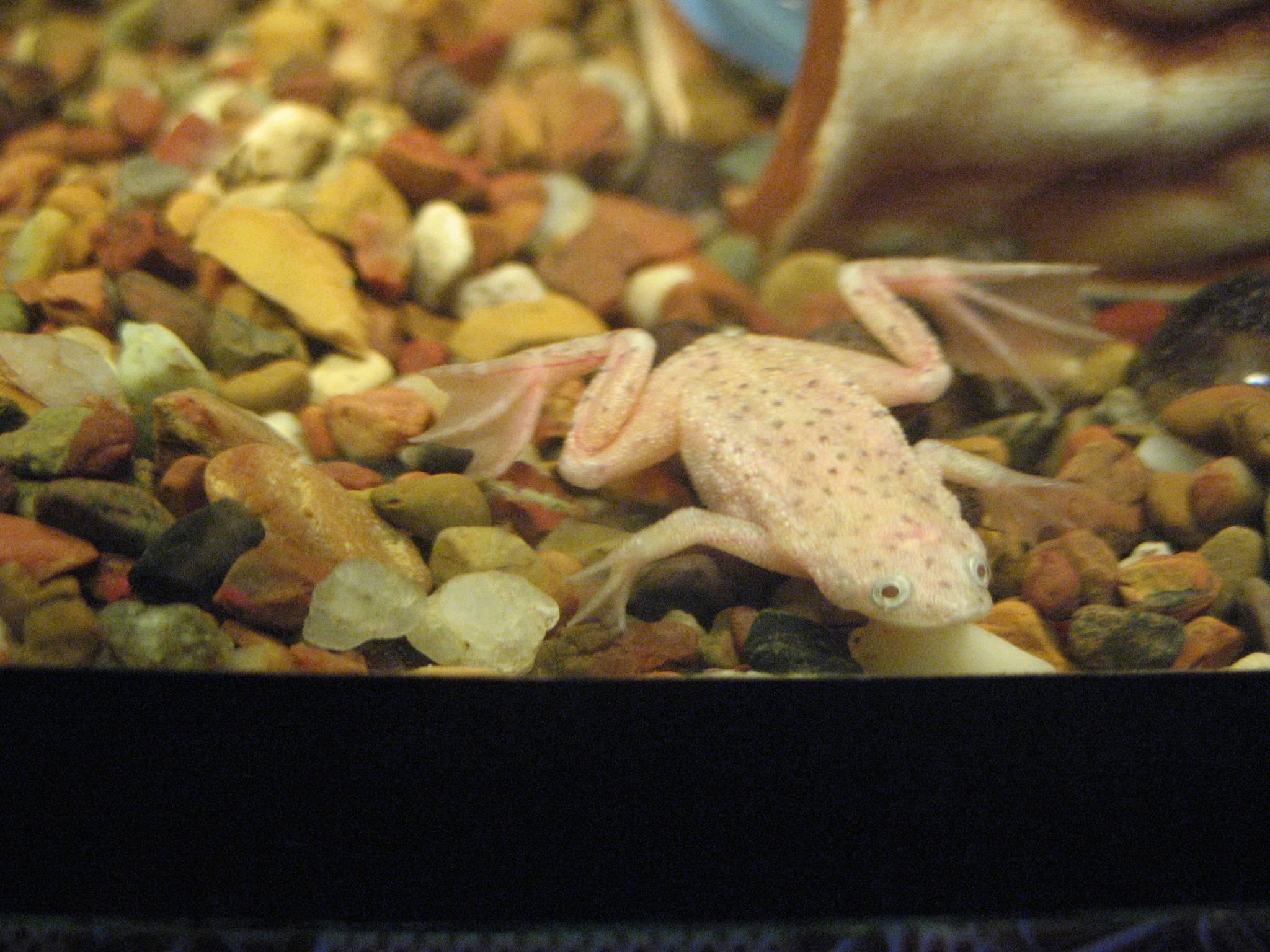 Аквариумные лягушки: описание и виды, содержание и уход