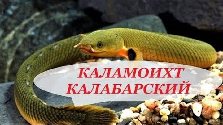 Каламоихт калабарский - аквариумная змея: содержание, совместимость, фото-видео обзор