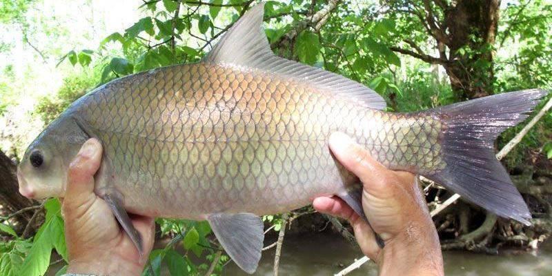 Рыба буффало - фото, описание, ловля   клёвая рыбалка