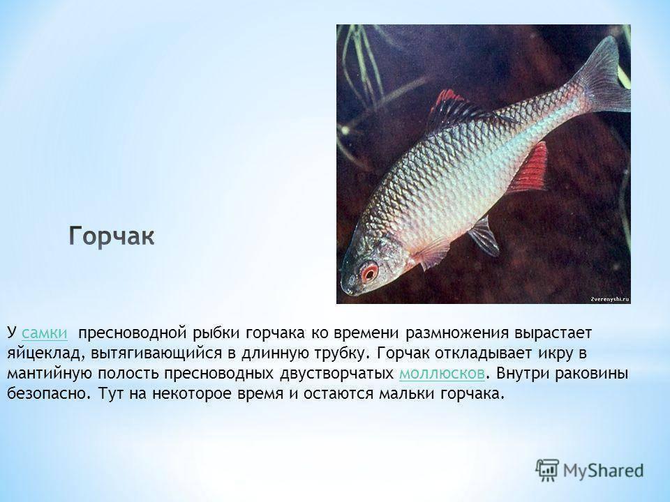 Горчак рыба - фото и описание, нерест и межвидовые отношения, ловля