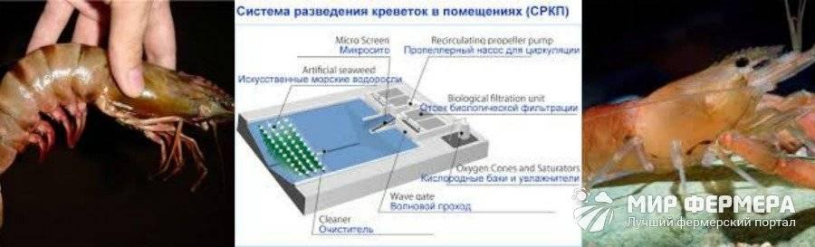 Поймать или вырастить. нужны ли россии промышленные производства креветок — журнал «агроинвестор» — агроинвестор