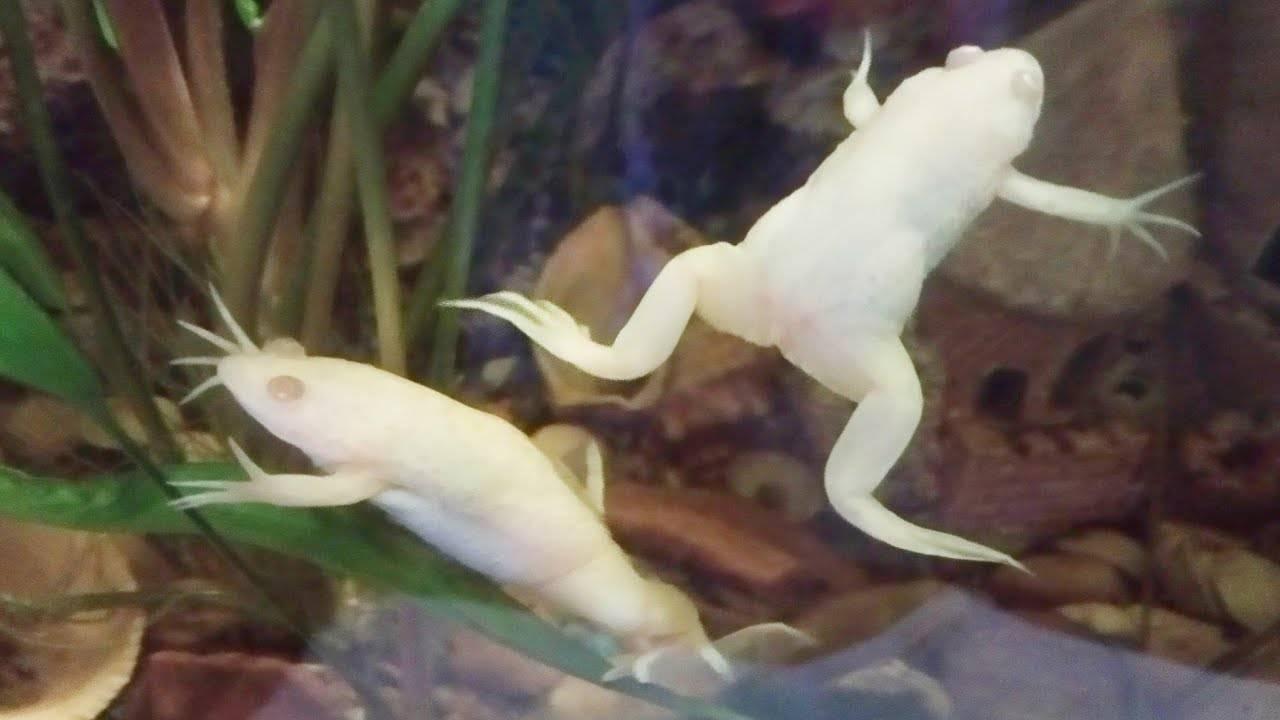 Шпорцевый вид лягушек, рекомендации по содержанию и уходу