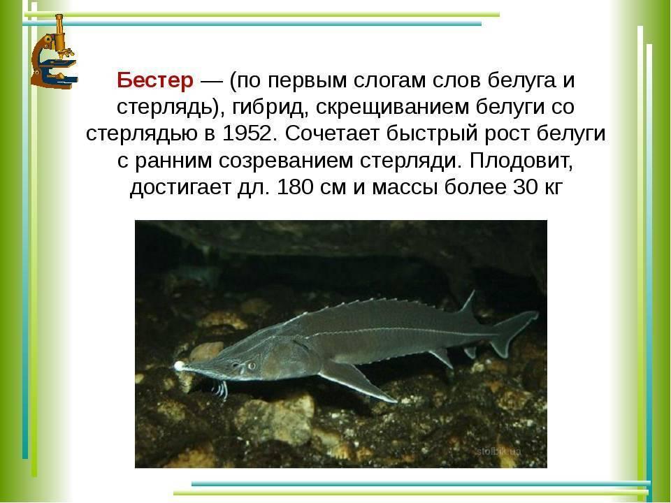 Рыба, занесенная в красную книгу: стерлядь, где обитает и чем питается