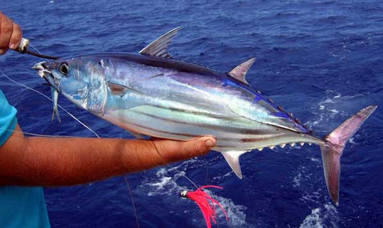 Обыкновенный тунец — википедия