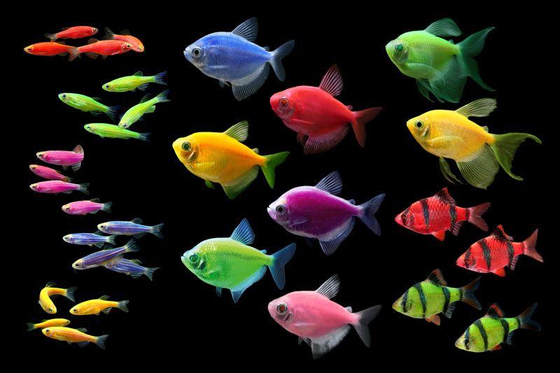 Аквариумные рыбки неоны: содержание, уход и размножение, чем кормить и виды, с какими рыбками уживаются, болезни и их лечение