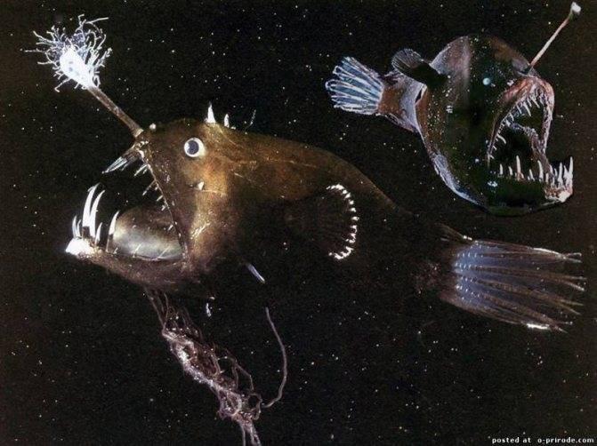 Рыба морской черт — описание рыбы-удильщика с фонариком на голове, фото