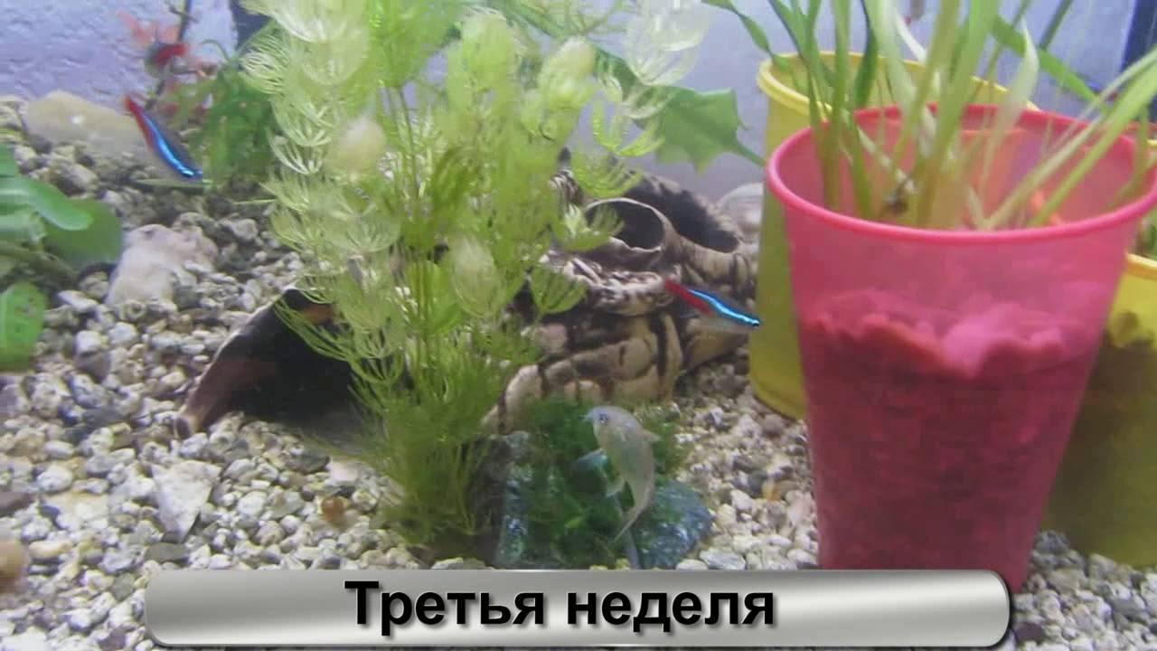 Рыбка петушок: уход, содержание, совместимость