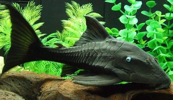 Виды аквариумных сомов