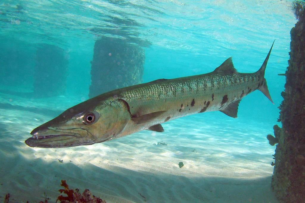 Сарган рыба. описание, особенности, виды, образ жизни и среда обитания рыбы сарган | живность.ру