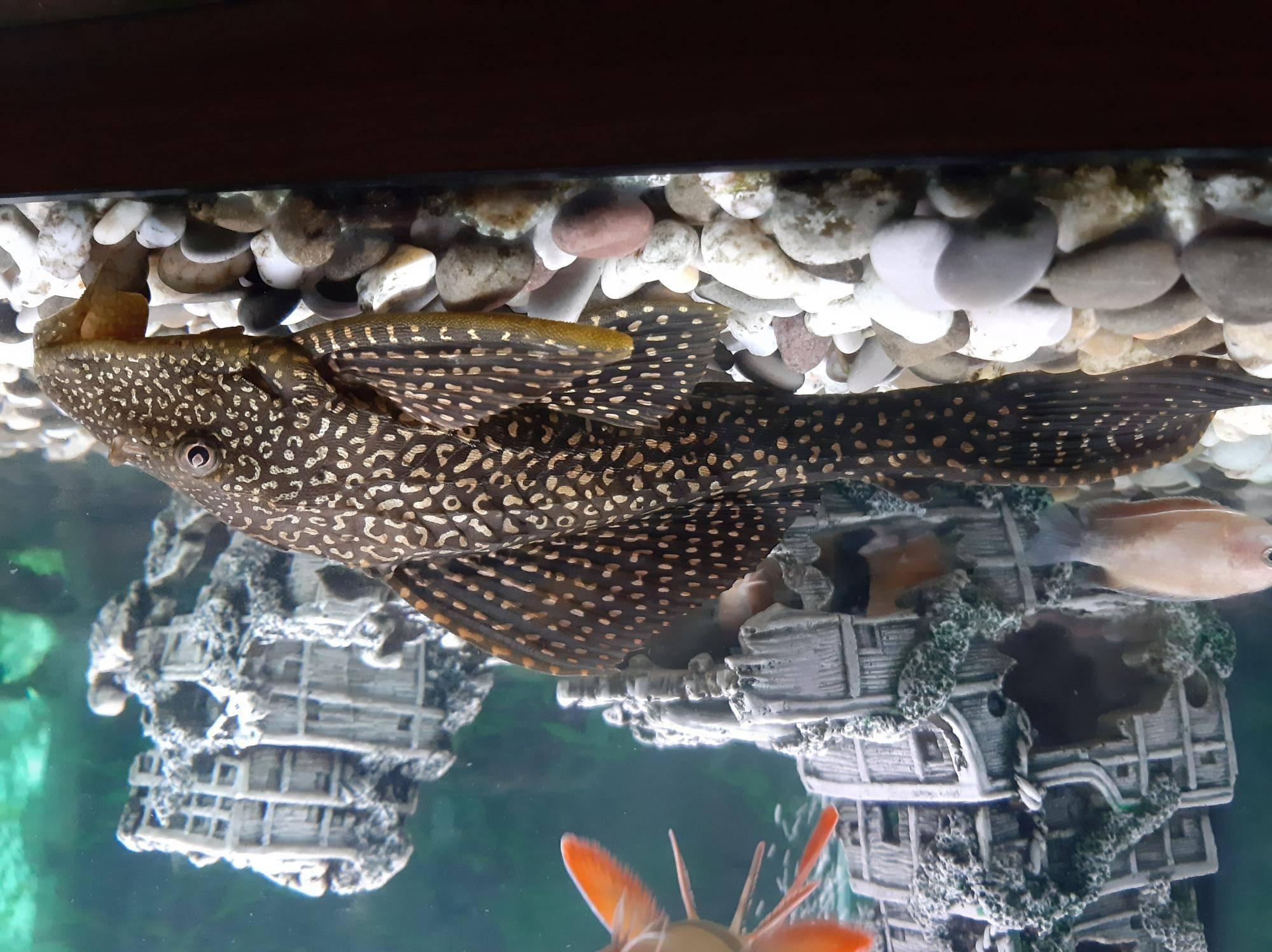 Парчовый сом аквариумный: содержание, совместимость