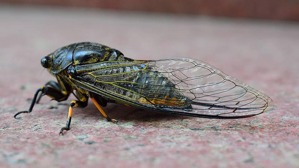 Виды цикад: певчая цикада, цикадка белая и японская - фото и описание