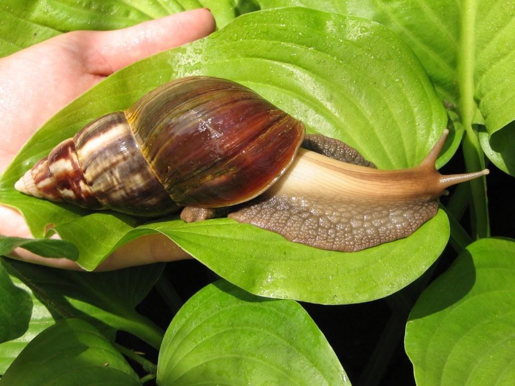 Сколько живут улитки: общие сведения о моллюсках, продолжительность жизни в домашних условиях, враги и болезни