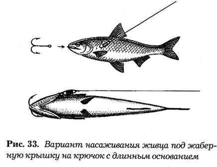 Как насаживать живца на крючок, капкан, донным способом - на щуку, окуня и судака