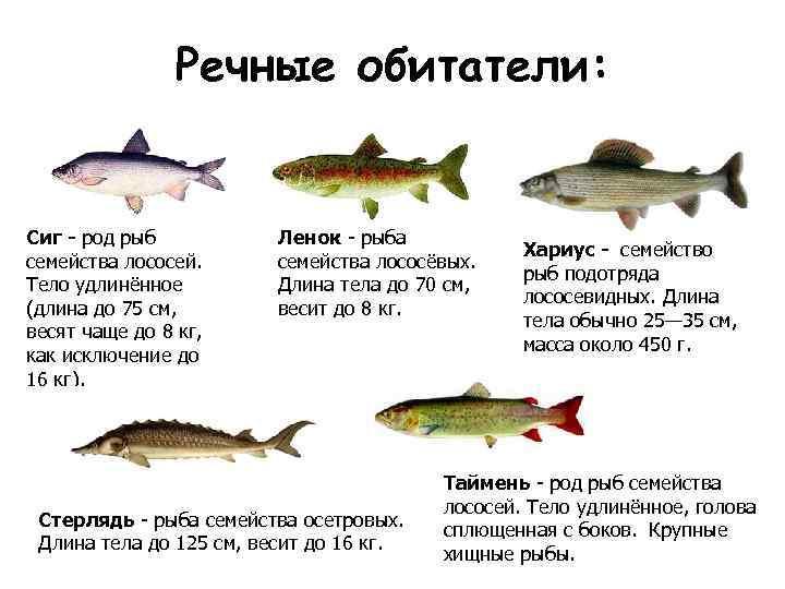 Обыкновенный сиг: что это за рыба, где водятся сиговые виды рыб