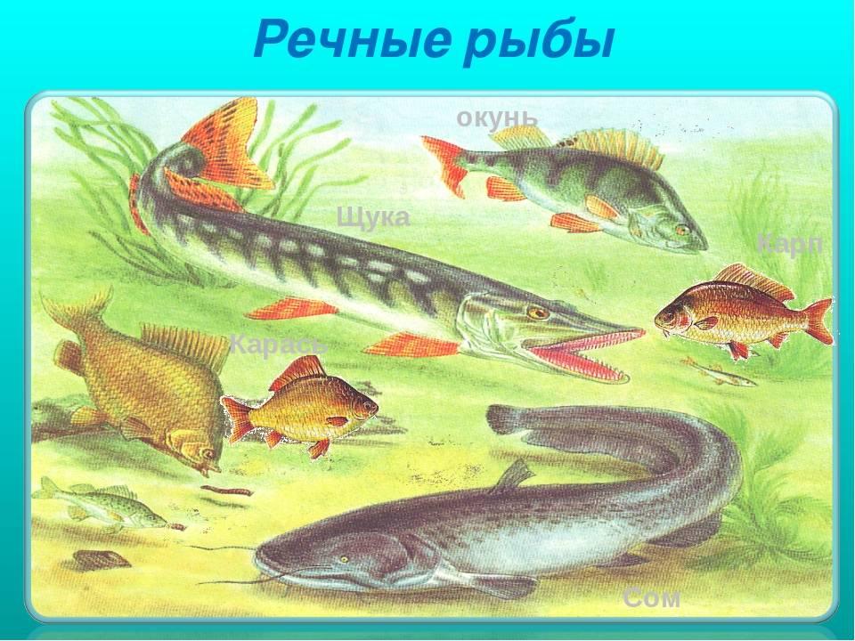Рыба ? карась. как выглядит карась ?, сколько живёт и где водится