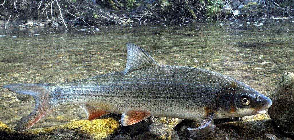 Рыба подуст обыкновенный: фото и описание, ловля весной или зимой на течении