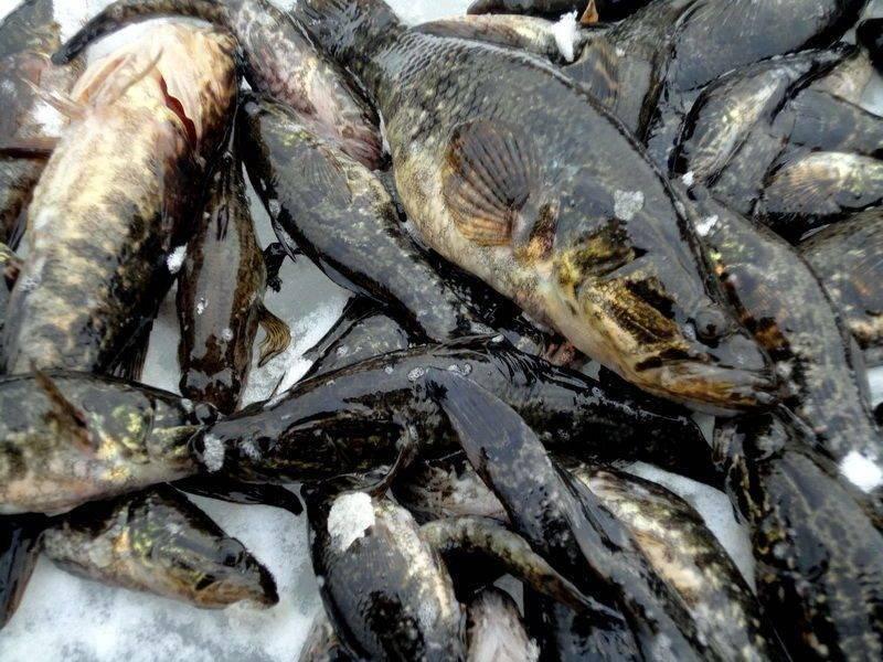 Рыба ротан: образ жизни и способы ловли