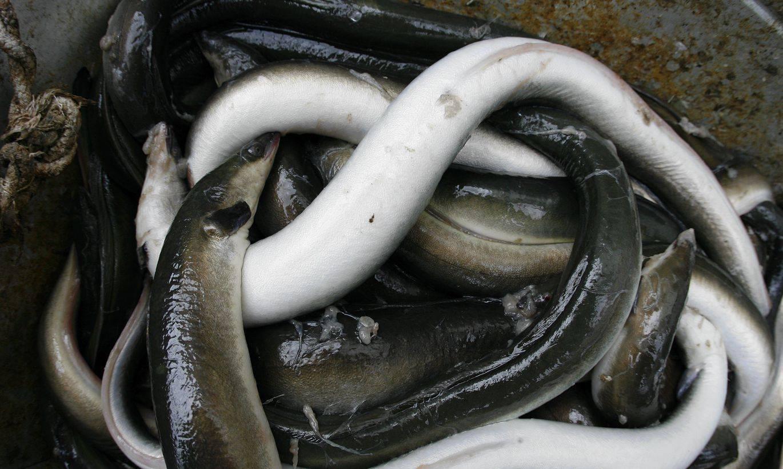 Угорь – странная рыба